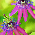 Passiflora Piresii Vine  - Passiflora Twins by Michelle Wiarda