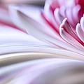 Pastel Gerbera by Adam Romanowicz
