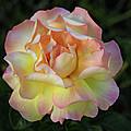 Peace Rose by Sandy Keeton