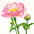 Peach Colored Peony With Buds by Sharon Freeman