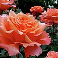 Peach Roses by Rona Black