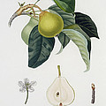 Pear by Pierre Antoine Poiteau
