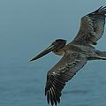 Pelican by Sebastian Musial