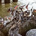Pelicans Print by Karinna Marvill