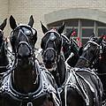 Percheron Horse Team 2008