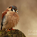 Picture Perfect American Kestrel  by Inspired Nature Photography Fine Art Photography