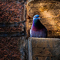 Pigeon Of The City by Bob Orsillo