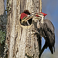 Pileated Woodpecker And Chick by Susan Candelario