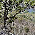 Pine Tree On A Mountain by Susan Leggett