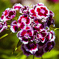 Pink And White Carnations by Omaste Witkowski