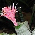 Pink Bromeliad Bloom Print by Kaye Menner