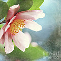 Pink Camellia by Sylvia Cook