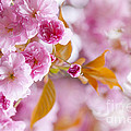 Pink Cherry Blossoms In Spring Orchard by Elena Elisseeva