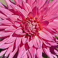 Pink Dahlia II by Peter French