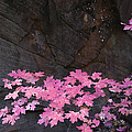 Pink Fall colors in Sedona Arizona Print by Dave Dilli