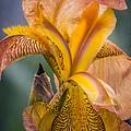 Pink Iris by Eduard Moldoveanu