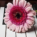 Pink Mum On Piano Keys by Garry Gay