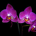 Pink Orchid  by Toppart Sweden