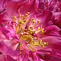 Pink Peony Flower Macro by Jennie Marie Schell