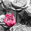 Pink Rose Print by Blink Images