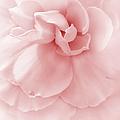 Pink Ruffled Begonia Flower by Jennie Marie Schell