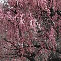 PINK TREE IN BLOOM Print by ADSPICE STUDIOS