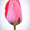 Pink tulip Print by Elena Elisseeva