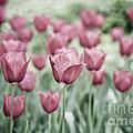 Pink Tulip Field by Frank Tschakert