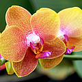 Pink Yellow Orchid by Rona Black