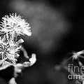 Pinwheels by Barbara Shallue