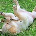 Playful Yellow Labrador Retriever Puppy by Jennie Marie Schell