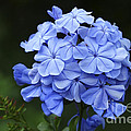 Plumbago