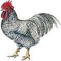 Plymouth Rock Rooster  by Anonymous