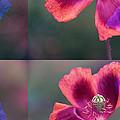 Poppy by Eiwy Ahlund