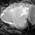 Poppy Flower 2 by Heather L Wright