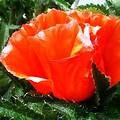 Poppy Flower by Heather L Wright