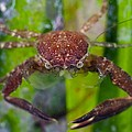 Porcelain Crab On Neptune Grass by Science Photo Library