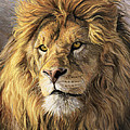 Portrait Of A Lion by Lucie Bilodeau