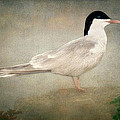 Portrait Of A Tern by Tom York Images