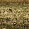 Prairie Chickens After The Boom by Thomas Young