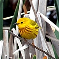 Pretty Little Yellow Warbler by Elizabeth Winter