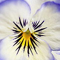 Pretty Pansy Close Up by Natalie Kinnear