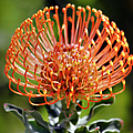 Protea - One Of The Oldest Flowers On Earth by Christine Till