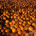 Pumpkins by Ron Sanford
