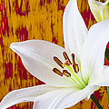 Pure White Lily by Garry Gay