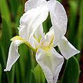 Purely White Iris by Kathy  White