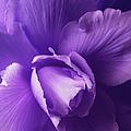 Purple Begonia Flower by Jennie Marie Schell