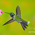 Purple-bibbed Whitetip Hummingbird by Anthony Mercieca