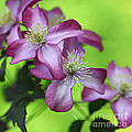 Purple Clematis by Sylvia Cook