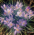 Purple Crocus Bunch In Spring Sunlight Print by ImagesAsArt Photos And Graphics